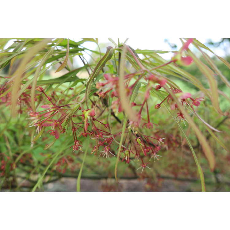 Acer palmatum 'Linearilobum' - green narrowleaf Japanese maple