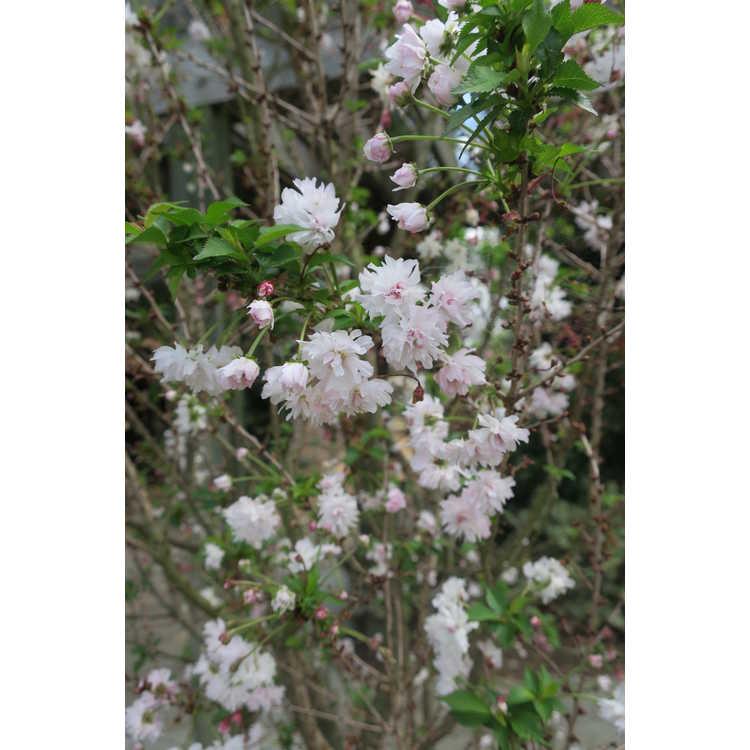 Prunus incisa 'Rinpo' - Zuzu dwarf Fuji cherry
