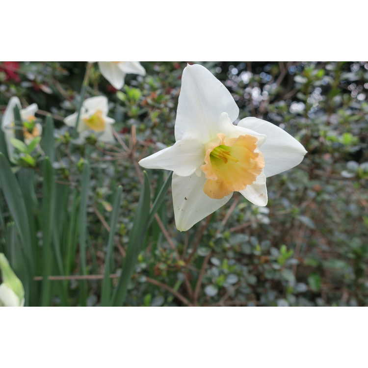 Narcissus 'Peaches and Cream' - large-cupped daffodil