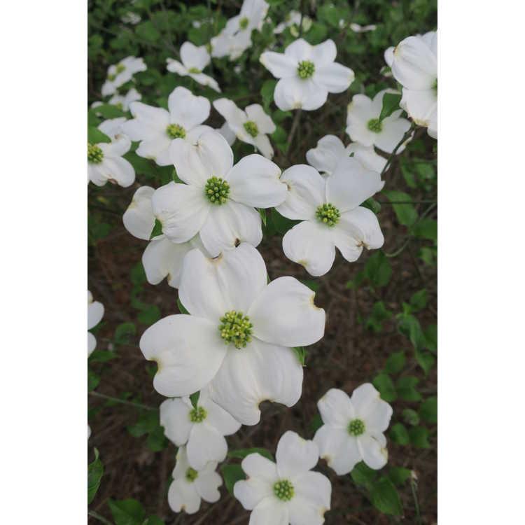 Cornus florida 'Suwanee Squat'