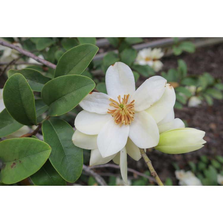 Magnolia 006 weeping