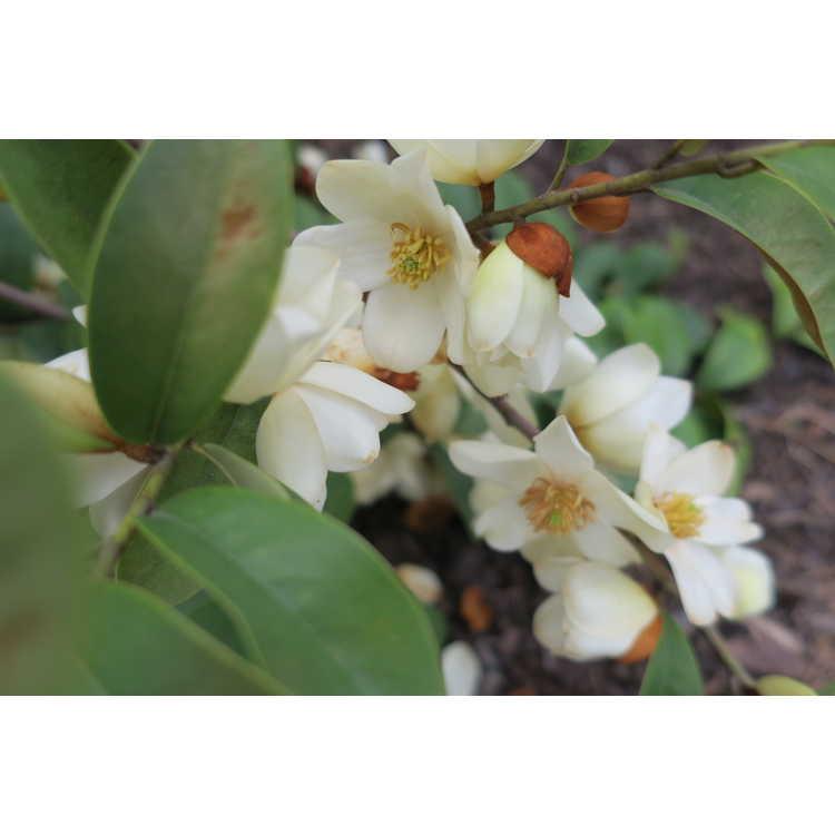 Magnolia (006 weeping)