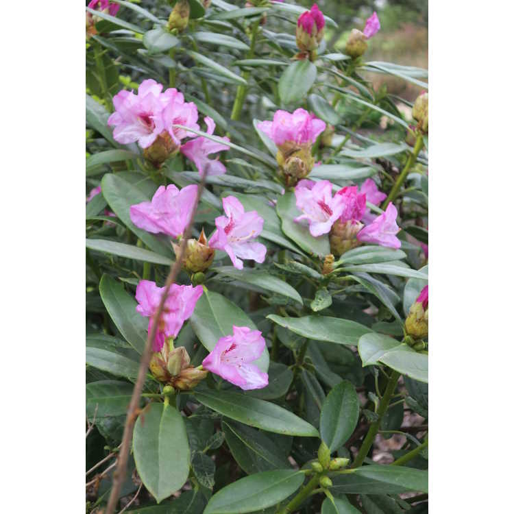 Rhododendron Tyler Morris Southgate Radiance