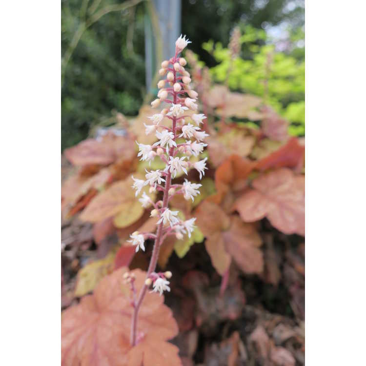 ×Heucherella 'Redstone Falls' - trailing foamy bells