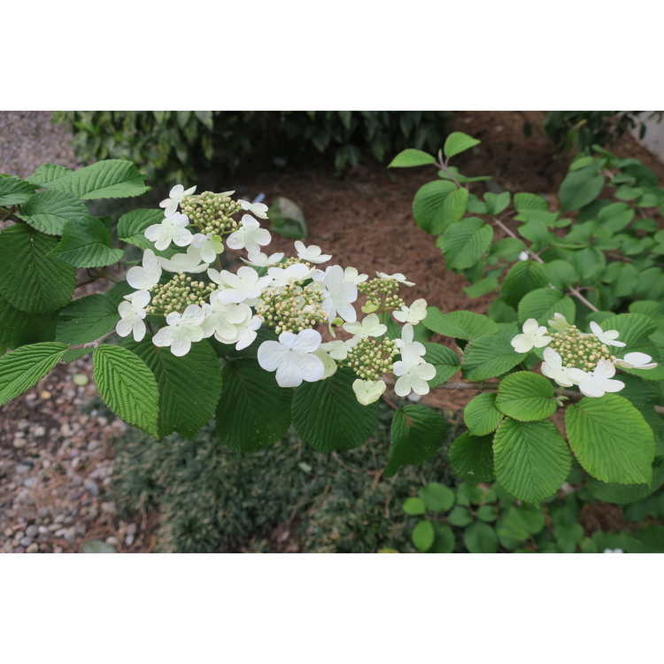 Viburnum plicatum tomentosum Weeping Magic