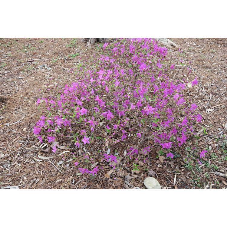 Rhododendron 'Congo' - Robin Hill azalea