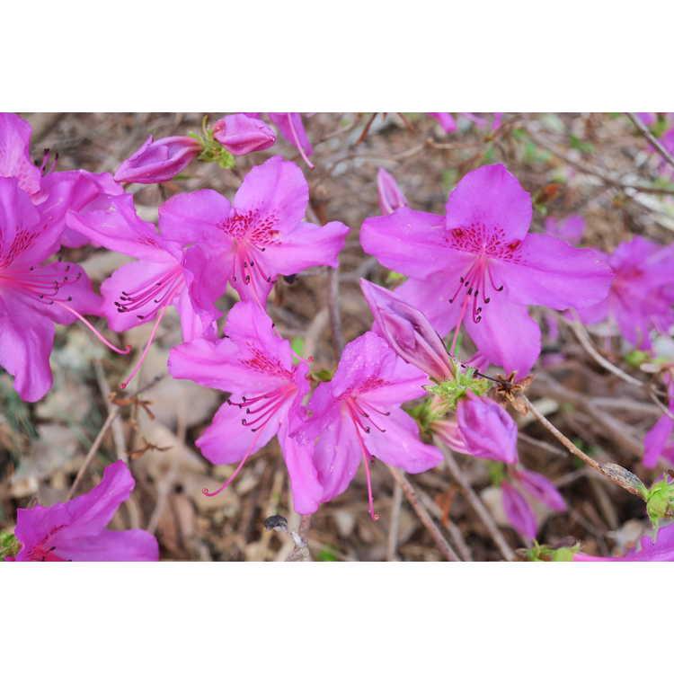 Rhododendron Congo