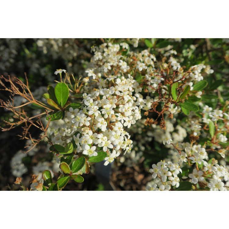 Viburnum obovatum 'Mrs. Schiller's Delight' - dwarf Walter's viburnum