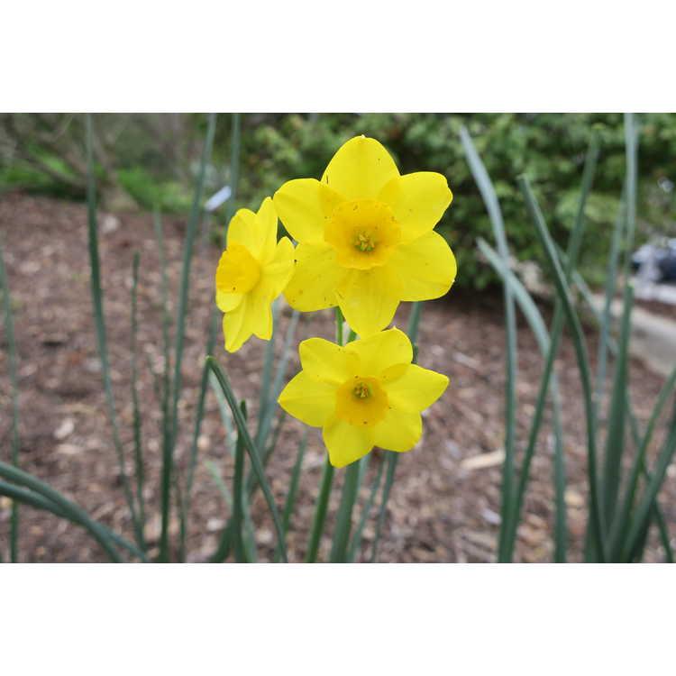 Narcissus 'Stratosphere' - jonquilla daffodil