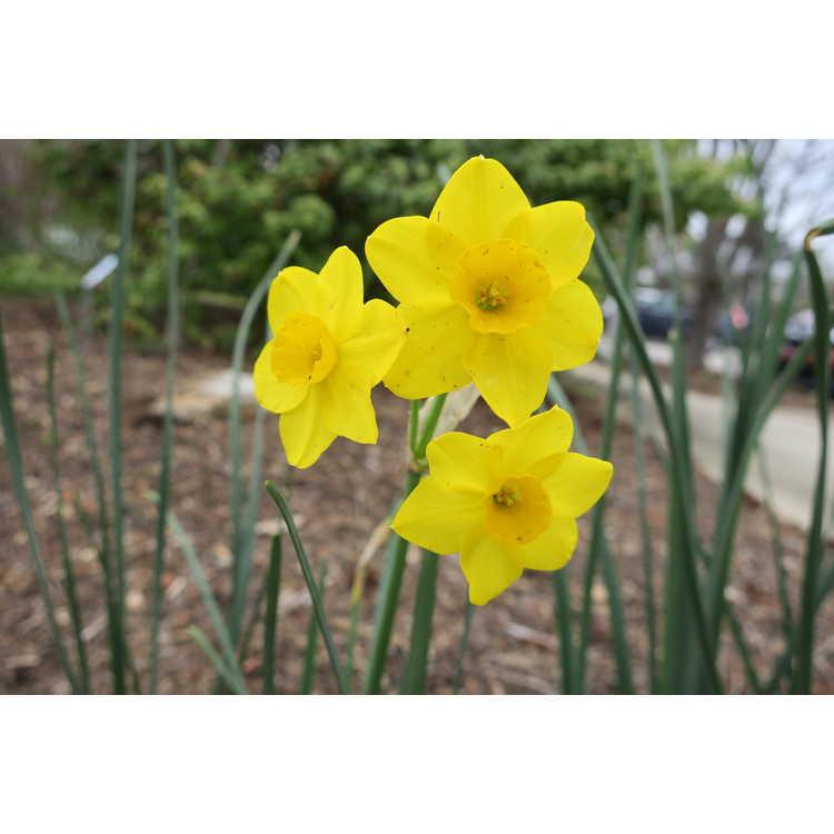 Narcissus Stratosphere