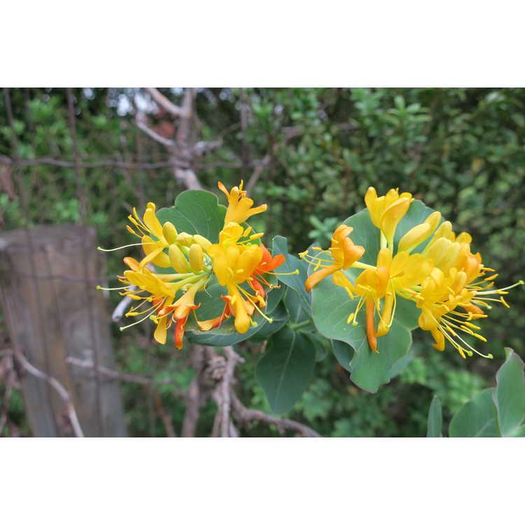 Lonicera flava - golden honeysuckle
