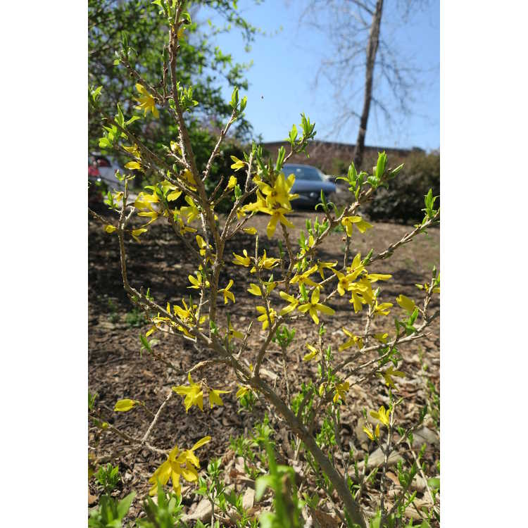 Forsythia ×intermedia 'Courdijau' - Golden Peep dwarf border forsythia