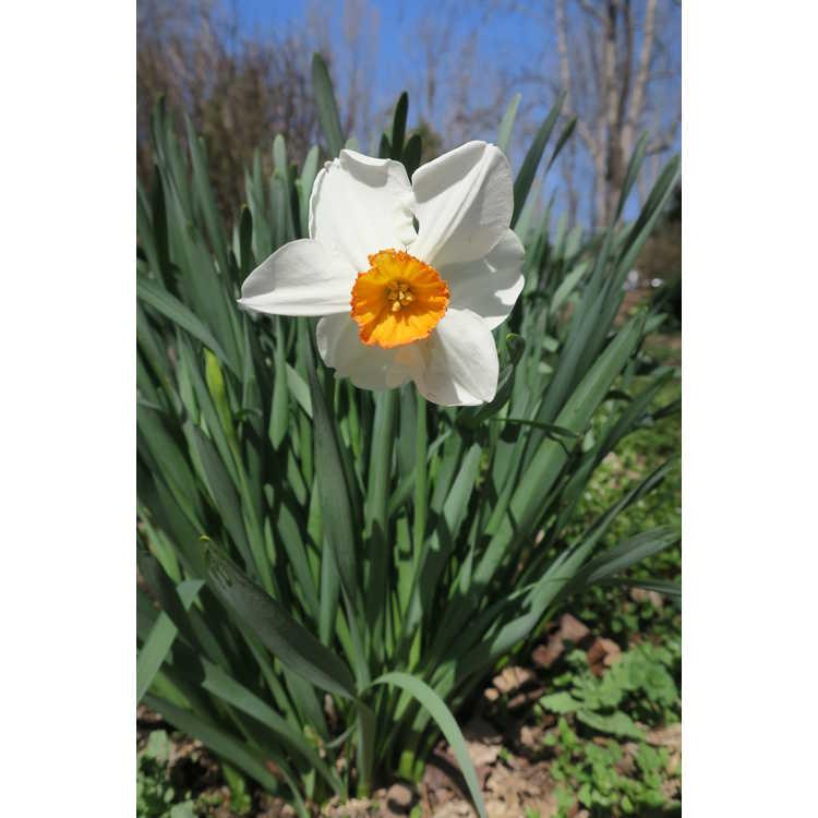 Narcissus 'Orange Cockade' - small-cupped daffodil