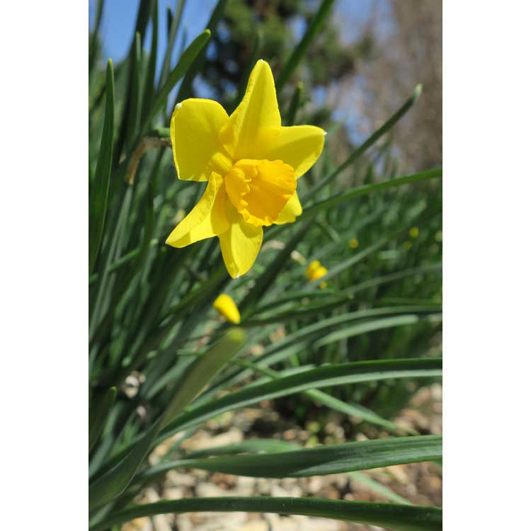 Narcissus 'Finch'