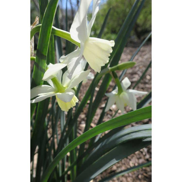 Narcissus 'Tresamble'