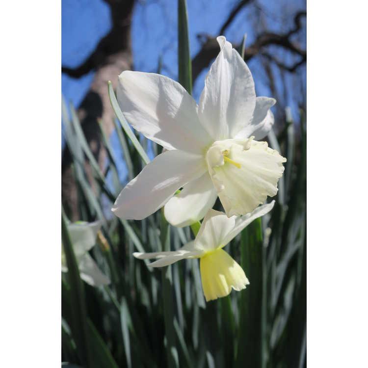 Narcissus 'Tresamble' - triandrus daffodil