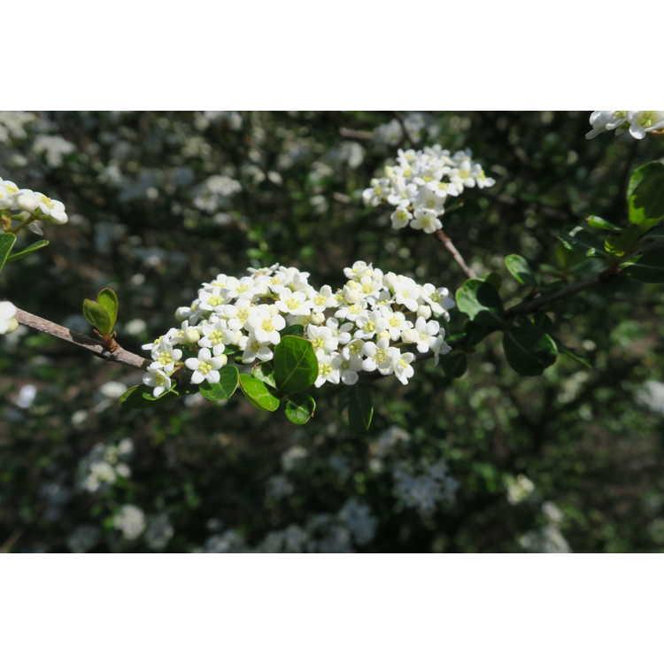 Viburnum obovatum 'Christmas Snow' - compact Walter's viburnum