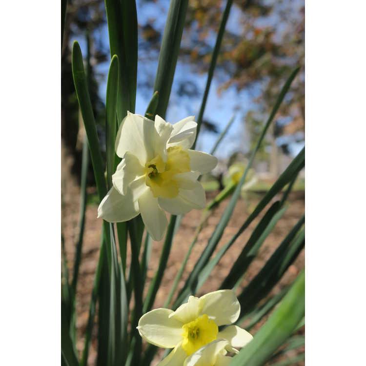 Narcissus 'Cutty Sark' - jonquilla daffodil