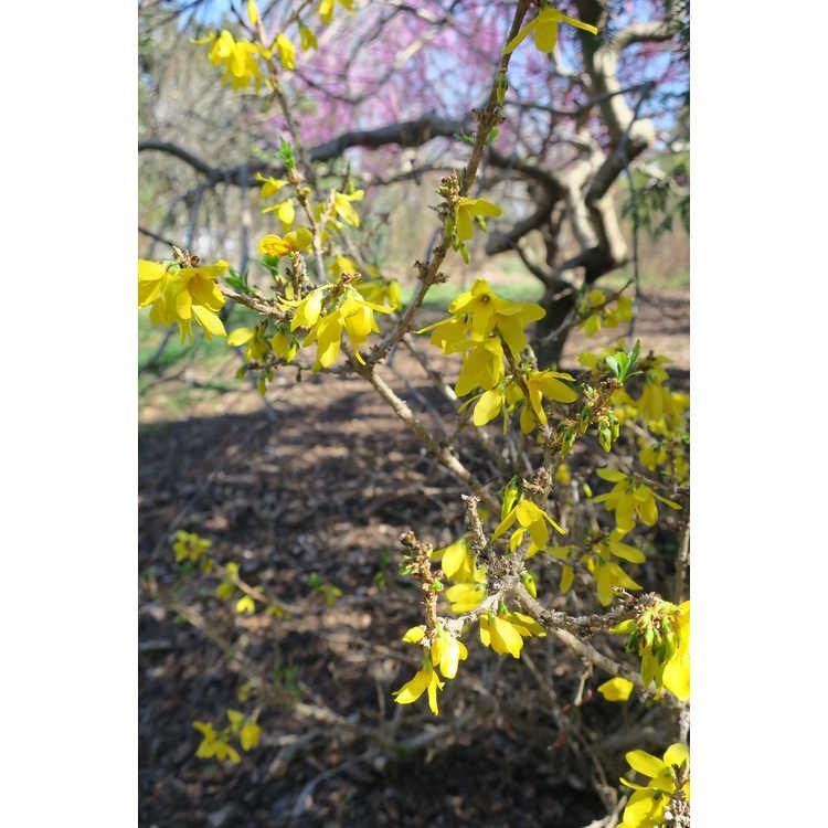 Forsythia 'Courtacour' - Goldilocks goldenbells