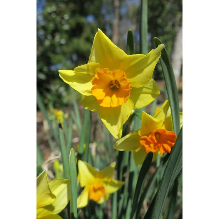 Narcissus 'Suzy' - jonquilla daffodil