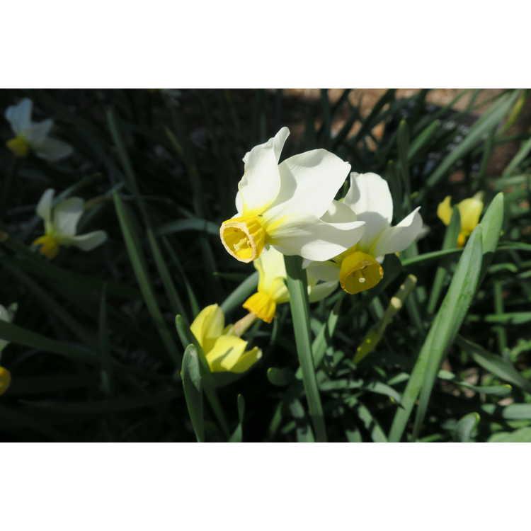 Narcissus 'Beryl' - cyclamineus daffodil