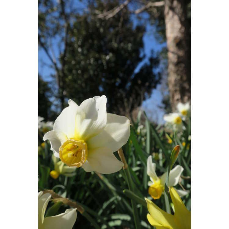 Narcissus Beryl