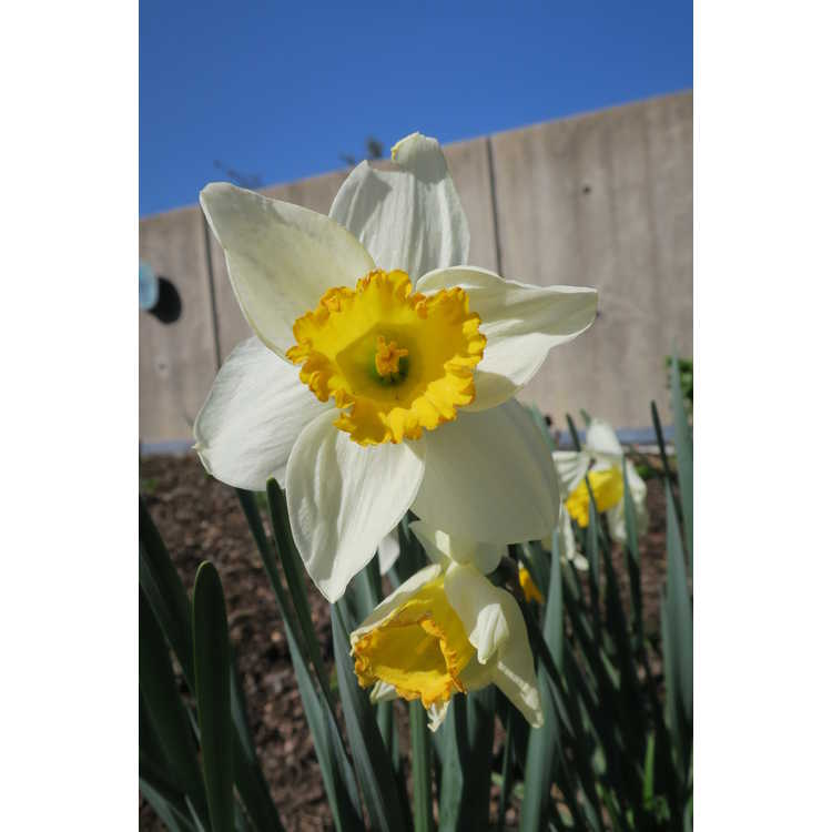 Narcissus 'Tropical Sunset'