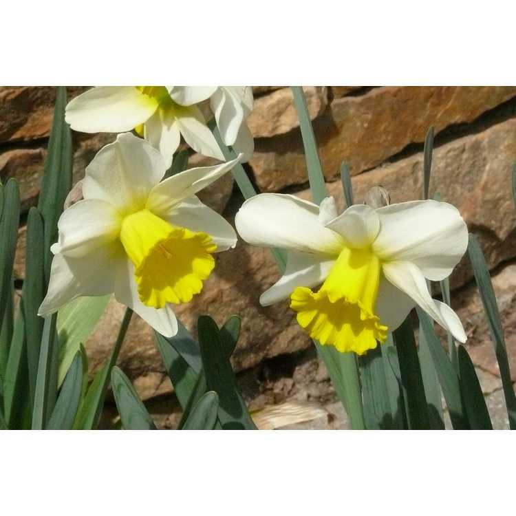 Narcissus Merels Favorite