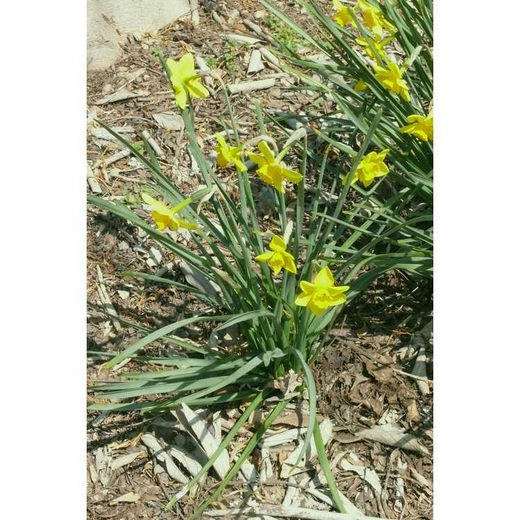 Narcissus 'Finch' - jonquilla daffodil
