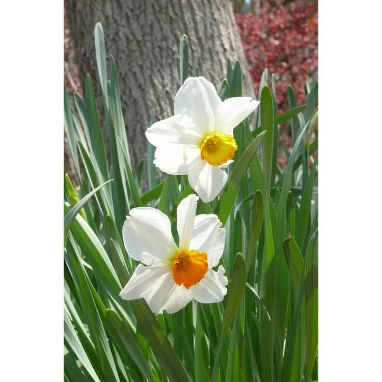 Narcissus 'Orange Cockade'