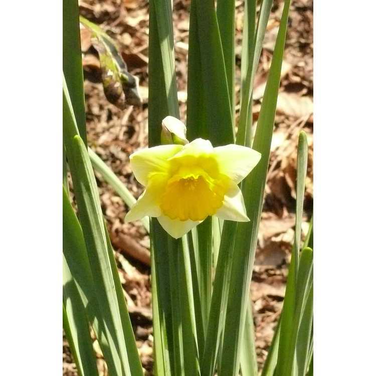 Narcissus 'Derringer'
