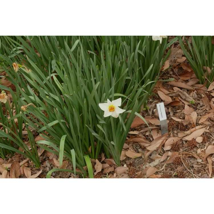 Narcissus 'Redhill' - large-cupped daffodil