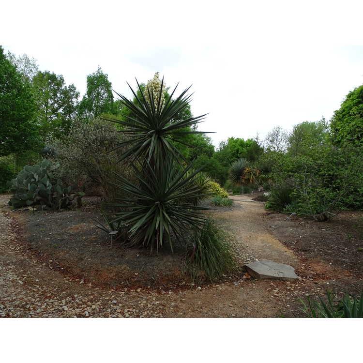 Yucca treculeana - Don Quixote's lance