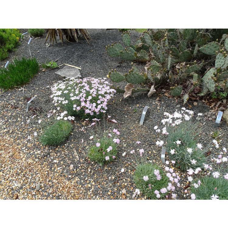 Dianthus tianschanicus