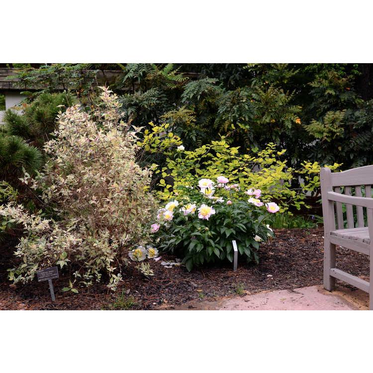 Paeonia 'Garden Lace'