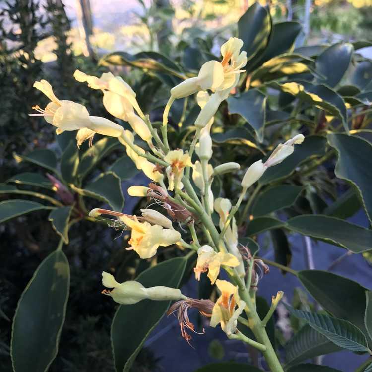 Aesculus pavia (yellow) - yellow-flowered red buckeye