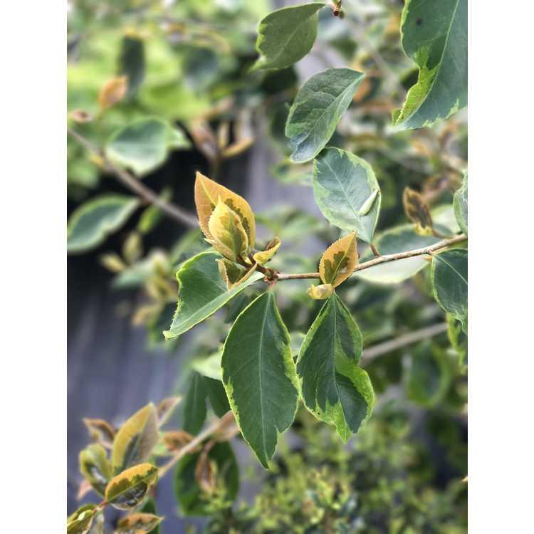 Camellia japonica 'Kifukurin Benikarako'