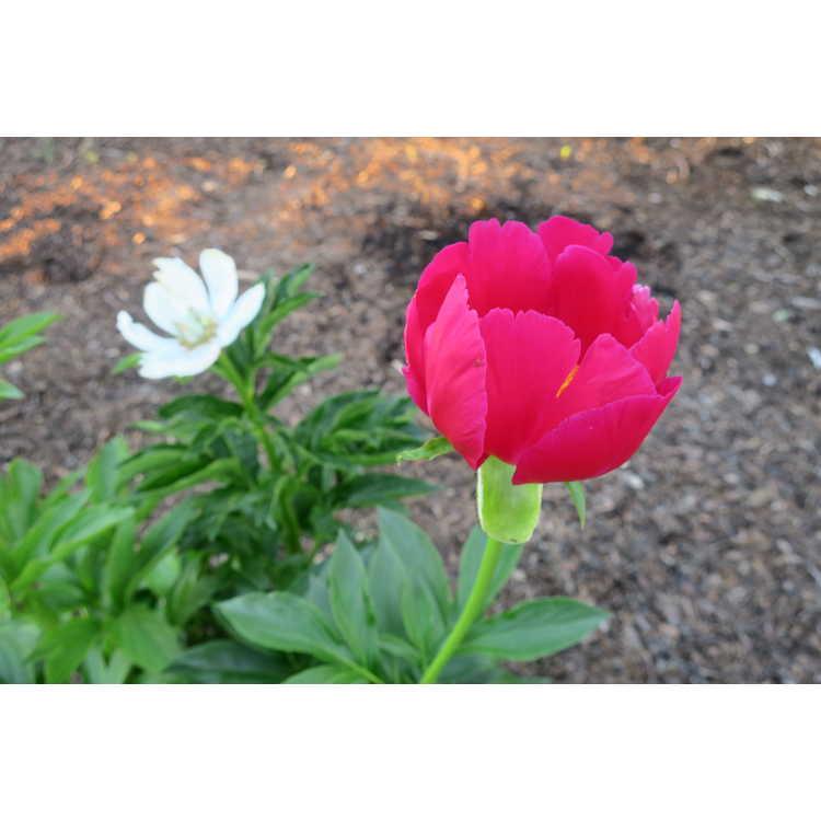Paeonia 'Scarlett O'Hara' - hybrid peony