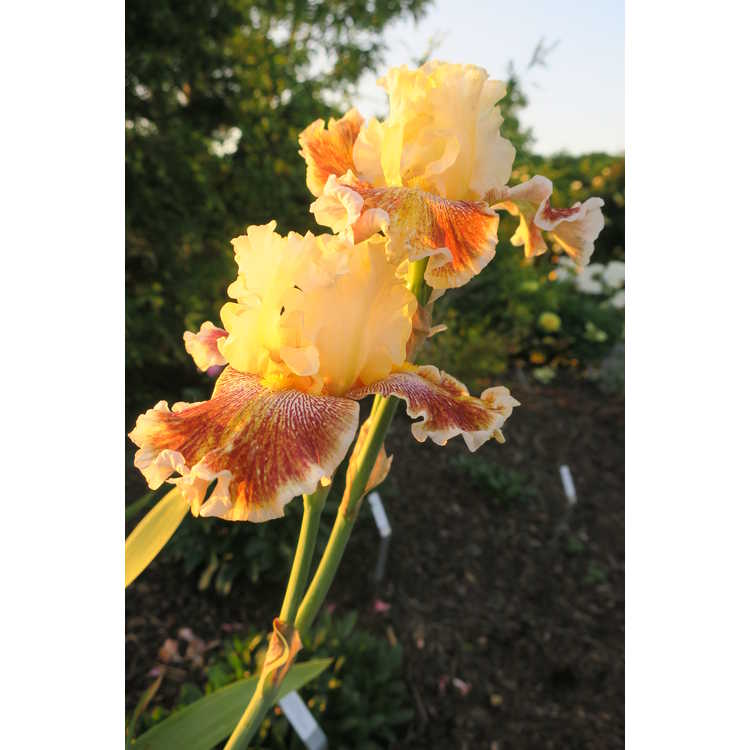 Iris 'Wonders Never Cease'
