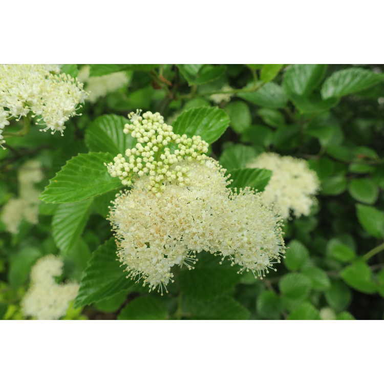 Viburnum dentatum 'Morton' - Northern Burgundy Southern arrowwood