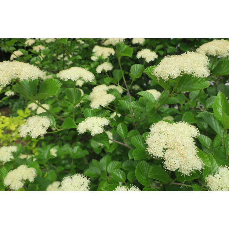 Viburnum dentatum Morton Northern Burgundy