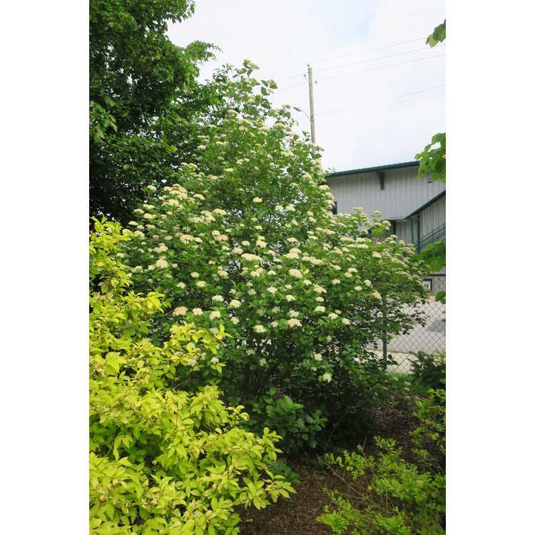 Viburnum dentatum 'Morton' - Northern Burgundy Southern arrowwood