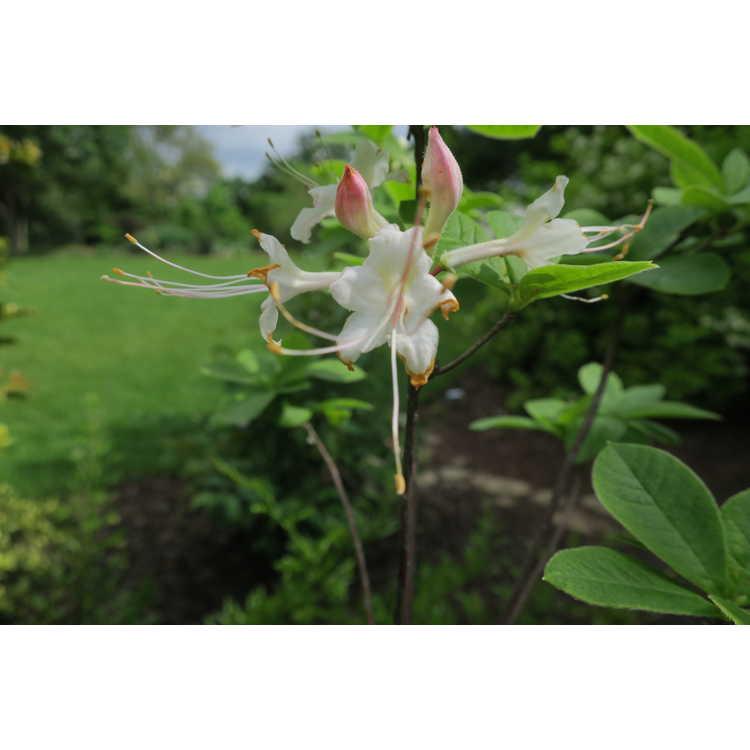 Rhododendron colemanii
