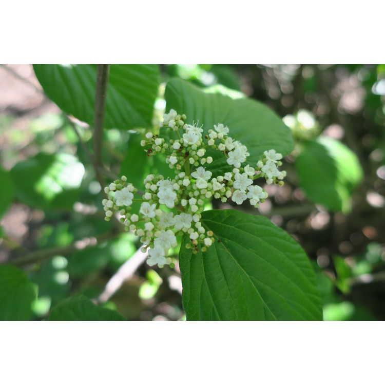 Viburnum 'Chippewa' - Egolf hybrid viburnum