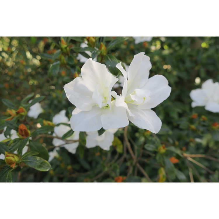 Rhododendron 'Alaska'