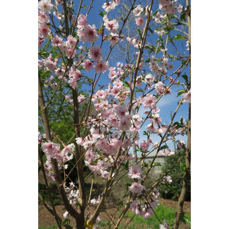 Prunus JFS-KW 14 First Blush