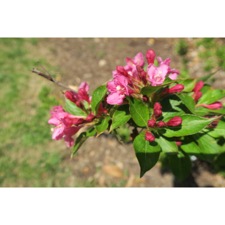 Weigela florida Bokrasoph Sonic Bloom Pink