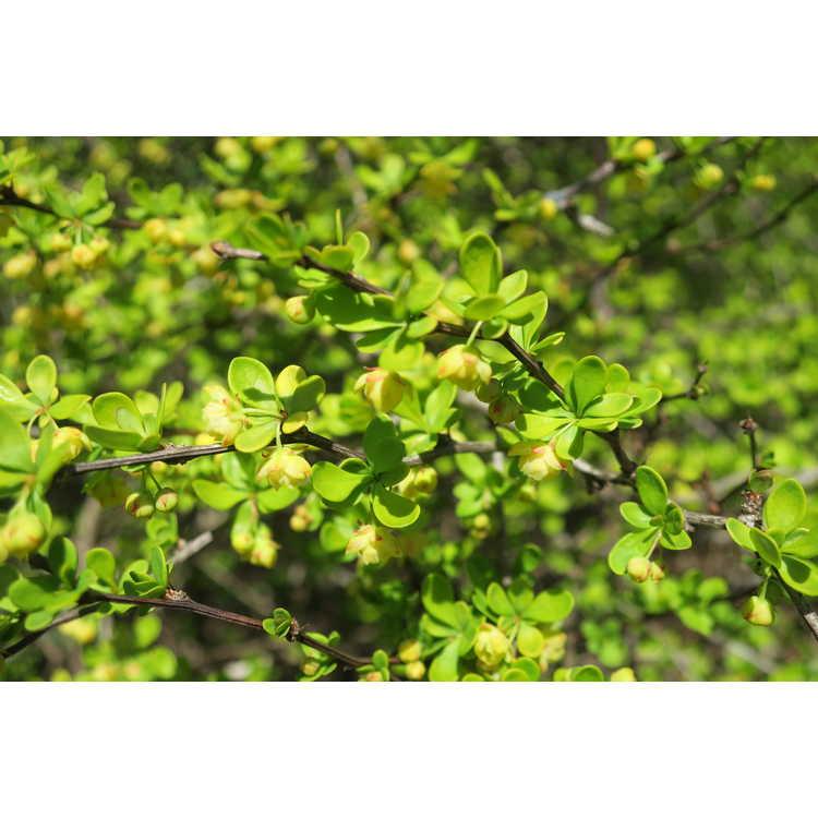 Berberis thunbergii 'Aurea Nana' - golden dwarf Japanese barberry