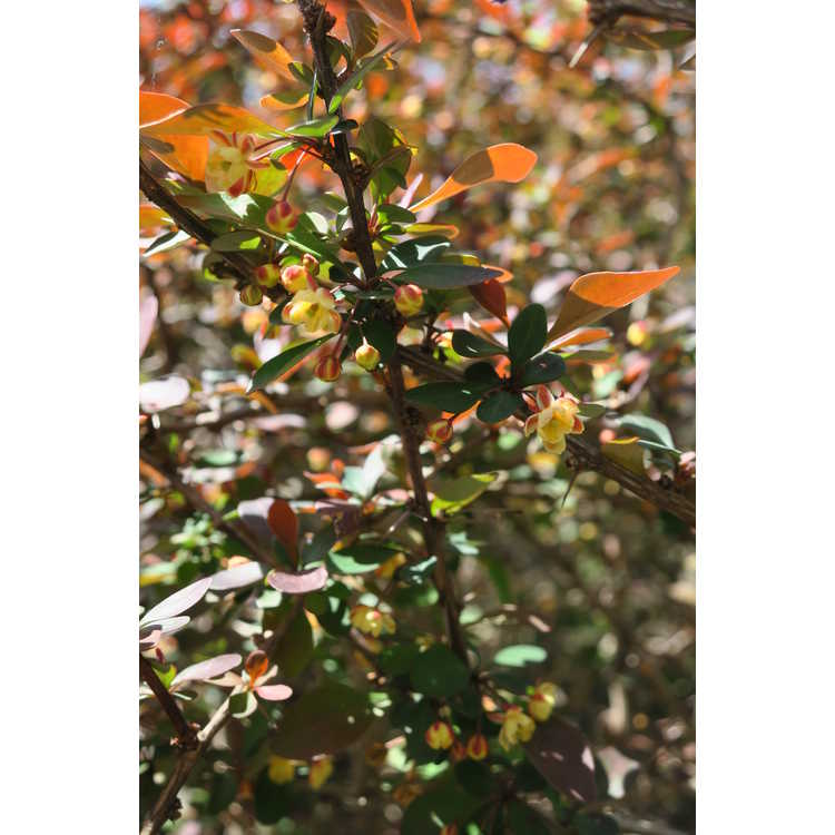Berberis thunbergii var. atropurpurea 'Golden Ring'