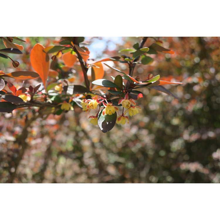 Berberis thunbergii atropurpurea Golden Ring